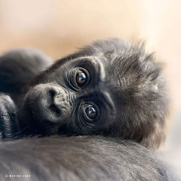 Gorilla Family Photos By Marina Cano